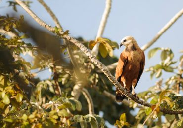 Araras Pantanal EcoLodge - Black Collared Hawk
