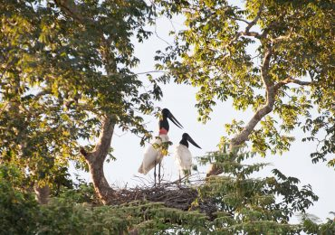 Araras Pantanal EcoLodge - Jabiru Storks on the nest